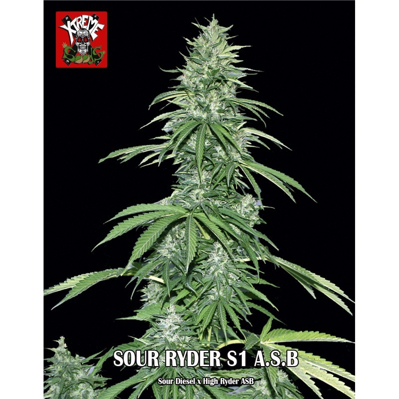 Sour Ryder S1 Super Autoflorescente 1 semilla