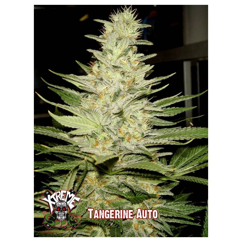 Tangerine Auto 3  semillas