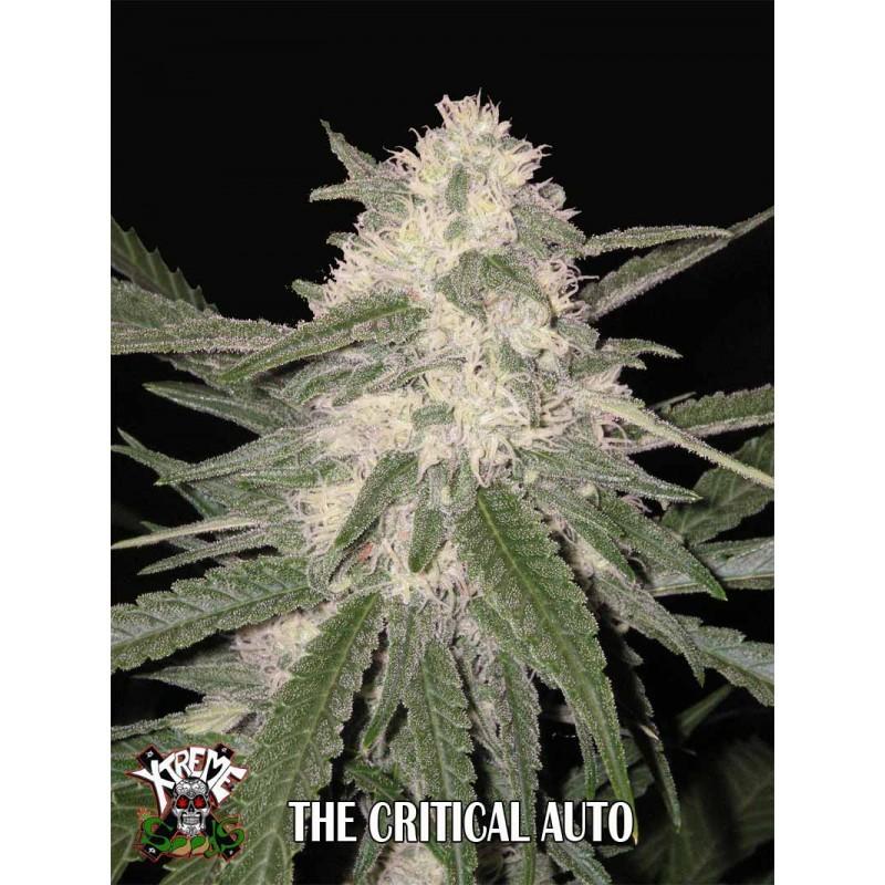 The Critical Auto 1 semilla