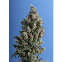 th seeds-kushage- Regular- 5- semillas