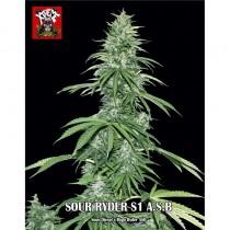 Sour Ryder S1 Super Autoflorescente 3 semillas